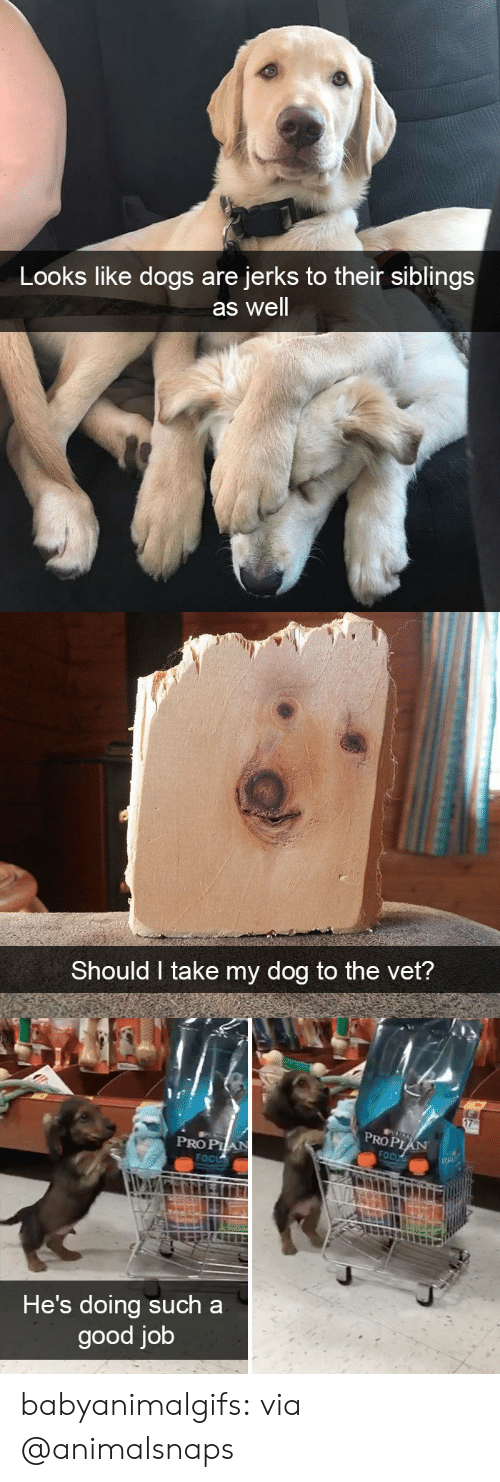 Jerks: Looks like dogs are  jerks to their siblings  as well   Should I take my dog to the vet?   PROP  PRO PIA  He's doing such a  good job babyanimalgifs:  via @animalsnaps