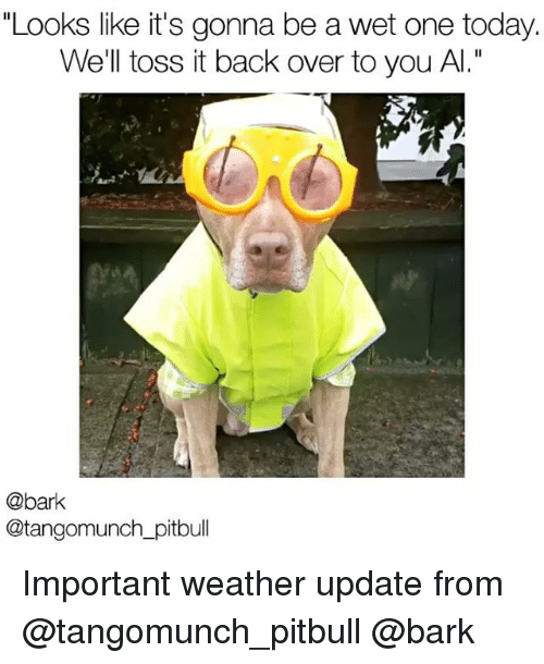 """toss it: """"Looks like it's gonna be a wet one today.  We'll toss it back over to you Al.""""  @bark  @tangomunch pitbull Important weather update from @tangomunch_pitbull @bark"""