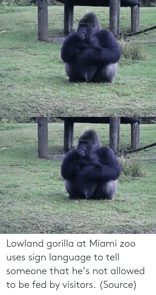 zoo: Lowland gorilla at Miami zoo uses sign language to tell someone that he's not allowed to be fed by visitors. (Source)