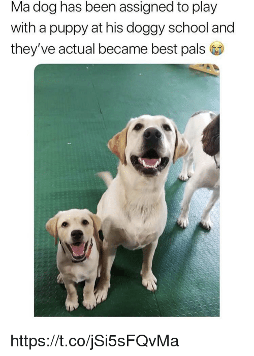 Memes, School, and Best: Ma dog has been assigned to play  with a puppy at his doggy school and  they've actual became best pals https://t.co/jSi5sFQvMa