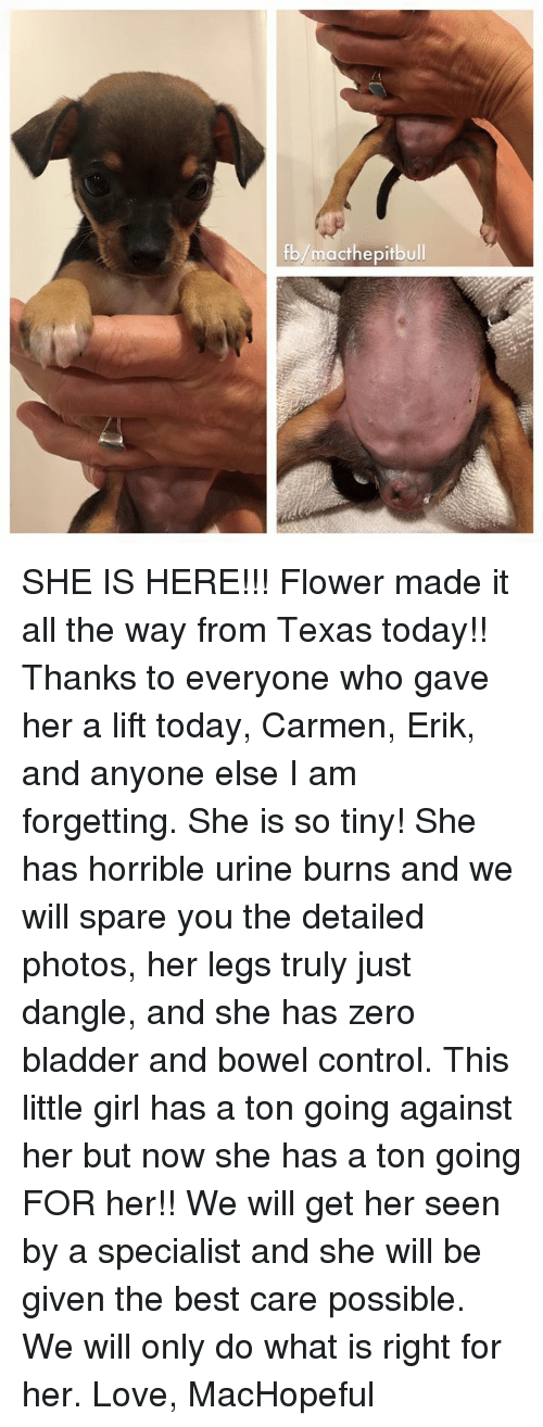 Urin: macthe pitbull  fb SHE IS HERE!!! Flower made it all the way from Texas today!! Thanks to everyone who gave her a lift today, Carmen, Erik, and anyone else I am forgetting. She is so tiny! She has horrible urine burns and we will spare you the detailed photos, her legs truly just dangle, and she has zero bladder and bowel control. This little girl has a ton going against her but now she has a ton going FOR her!! We will get her seen by a specialist and she will be given the best care possible. We will only do what is right for her.   Love, MacHopeful