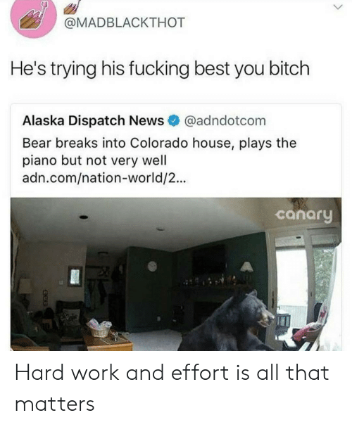 Bitch, Fucking, and News: @MADBLACKTHOT  He's trying his fucking best you bitch  Alaska Dispatch News @adndotcom  Bear breaks into Colorado house, plays the  piano but not very well  adn.com/nation-world/2...  canary Hard work and effort is all that matters