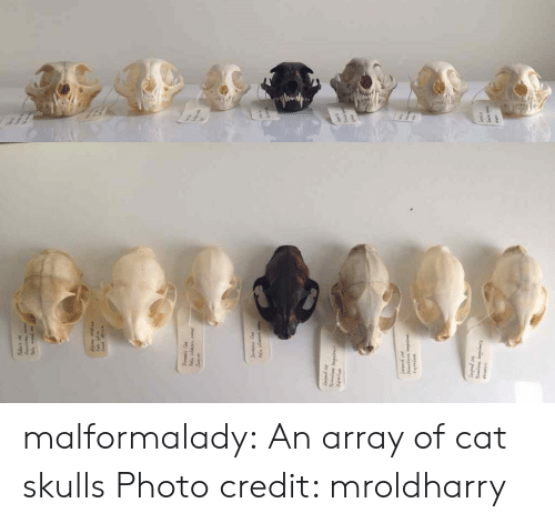 Tumblr, Blog, and Http: malformalady: An array of cat skulls Photo credit: mroldharry