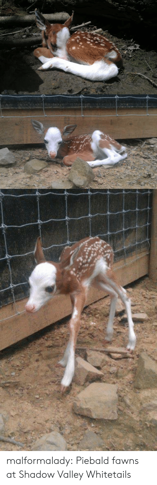 Facebook, Tumblr, and Blog: malformalady:  Piebald fawns at  Shadow Valley Whitetails