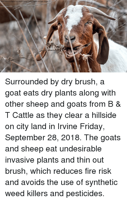 Fire, Friday, and Memes: Mark Rightmire/Digital First Media/0range County-Register via Getty Images Surrounded by dry brush, a goat eats dry plants along with other sheep and goats from B & T Cattle as they clear a hillside on city land in Irvine Friday, September 28, 2018. The goats and sheep eat undesirable invasive plants and thin out brush, which reduces fire risk and avoids the use of synthetic weed killers and pesticides.