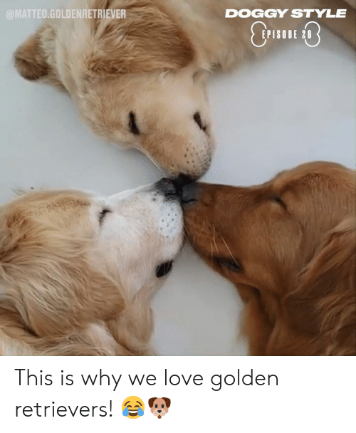 Dank, Doggy Style, and Love: @MATTEO.GOLDENRETRIEVER  DOGGY STYLE  EPISODE 28 This is why we love golden retrievers! 😂🐶