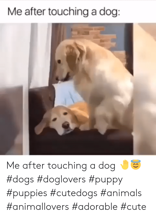 Animals, Cute, and Dogs: Me after touching a dog: Me after touching a dog 🤚😇#dogs #doglovers #puppy #puppies #cutedogs #animals #animallovers #adorable #cute