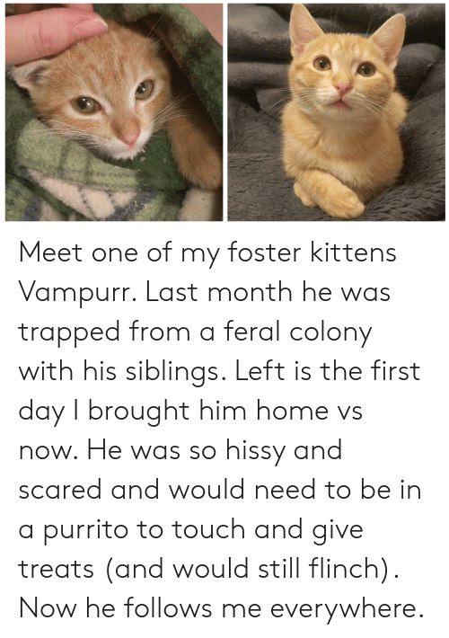 Hissy: Meet one of my foster kittens Vampurr. Last month he was trapped from a feral colony with his siblings. Left is the first day I brought him home vs now. He was so hissy and scared and would need to be in a purrito to touch and give treats (and would still flinch). Now he follows me everywhere.