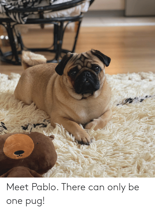 pablo: Meet Pablo. There can only be one pug!