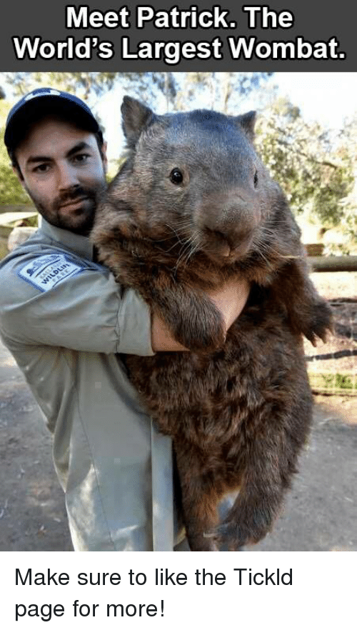 wombats: Meet Patrick. The  World's Largest Wombat. Make sure to like the Tickld page for more!