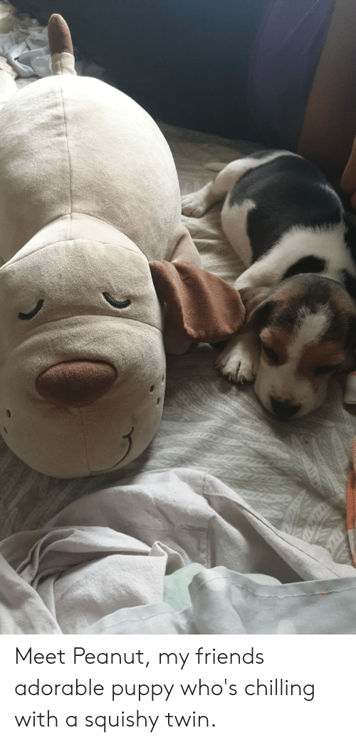 Friends, Puppy, and Adorable: Meet Peanut, my friends adorable puppy who's chilling with a squishy twin.