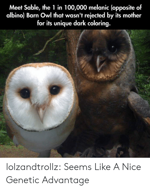 Coloring: Meet Sable, the 1 in 100,000 melanic (opposite of  albino) Barn Owl that wasn't rejected by its mother  for its unique dark coloring. lolzandtrollz:  Seems Like A Nice Genetic Advantage
