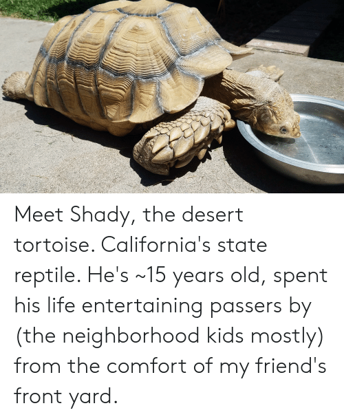 Friends, Life, and Kids: Meet Shady, the desert tortoise. California's state reptile. He's ~15 years old, spent his life entertaining passers by (the neighborhood kids mostly) from the comfort of my friend's front yard.