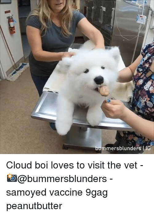 9gag, Memes, and Cloud: mersblunders 10 Cloud boi loves to visit the vet - 📸@bummersblunders - samoyed vaccine 9gag peanutbutter