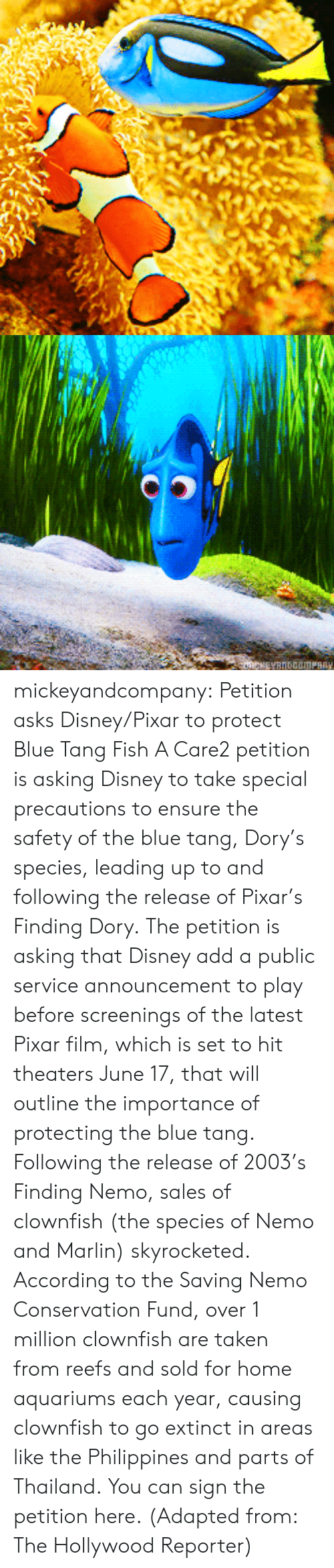Marlin: mickeyandcompany:  Petition asks Disney/Pixar to protect Blue Tang Fish A Care2 petition is asking Disney to take special precautions to ensure the safety of the blue tang, Dory's species, leading up to and following the release of Pixar's Finding Dory. The petition is asking that Disney add a public service announcement to play before screenings of the latest Pixar film, which is set to hit theaters June 17, that will outline the importance of protecting the blue tang. Following the release of 2003's Finding Nemo, sales of clownfish (the species of Nemo and Marlin) skyrocketed. According to the Saving Nemo Conservation Fund, over 1 million clownfish are taken from reefs and sold for home aquariums each year, causing clownfish to go extinct in areas like the Philippines and parts of Thailand. You can sign the petition here. (Adapted from: The Hollywood Reporter)