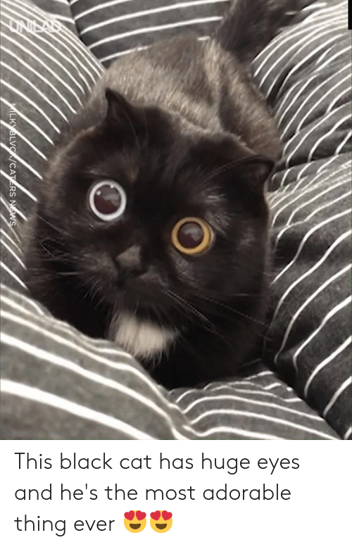 Dank, Black, and Adorable: MILKYBLVC/CATERS NWS This black cat has huge eyes and he's the most adorable thing ever 😍😍