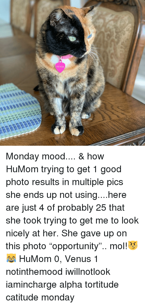 """Memes, Mood, and Good: Monday mood.... & how HuMom trying to get 1 good photo results in multiple pics she ends up not using....here are just 4 of probably 25 that she took trying to get me to look nicely at her. She gave up on this photo """"opportunity"""".. mol!😼😹 HuMom 0, Venus 1 notinthemood iwillnotlook iamincharge alpha tortitude catitude monday"""