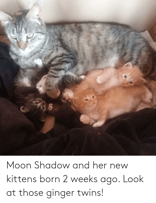 new: Moon Shadow and her new kittens born 2 weeks ago. Look at those ginger twins!