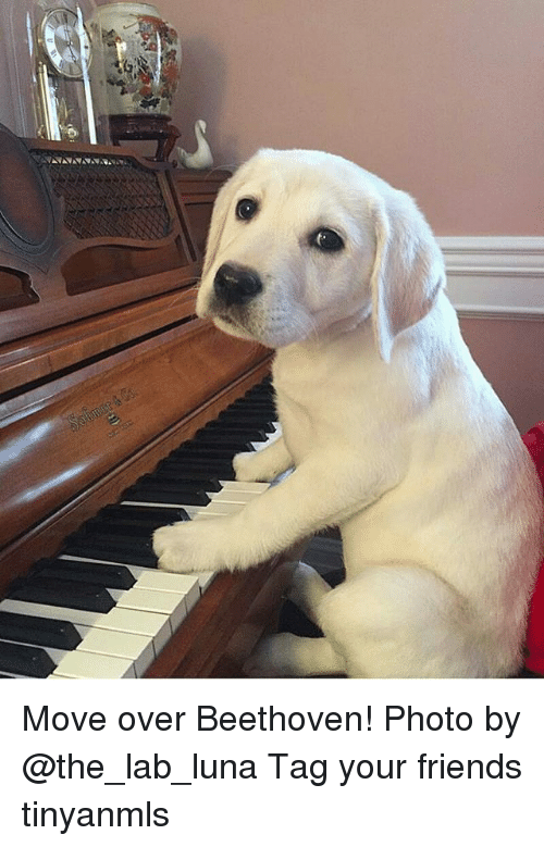 Friends, Memes, and Beethoven: Move over Beethoven! Photo by @the_lab_luna Tag your friends tinyanmls