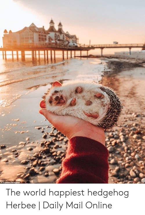 Daily Mail: mr.pokee/Instagram The world happiest hedgehog Herbee | Daily Mail Online