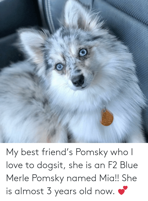 mia: My best friend's Pomsky who I love to dogsit, she is an F2 Blue Merle Pomsky named Mia!! She is almost 3 years old now. 💕