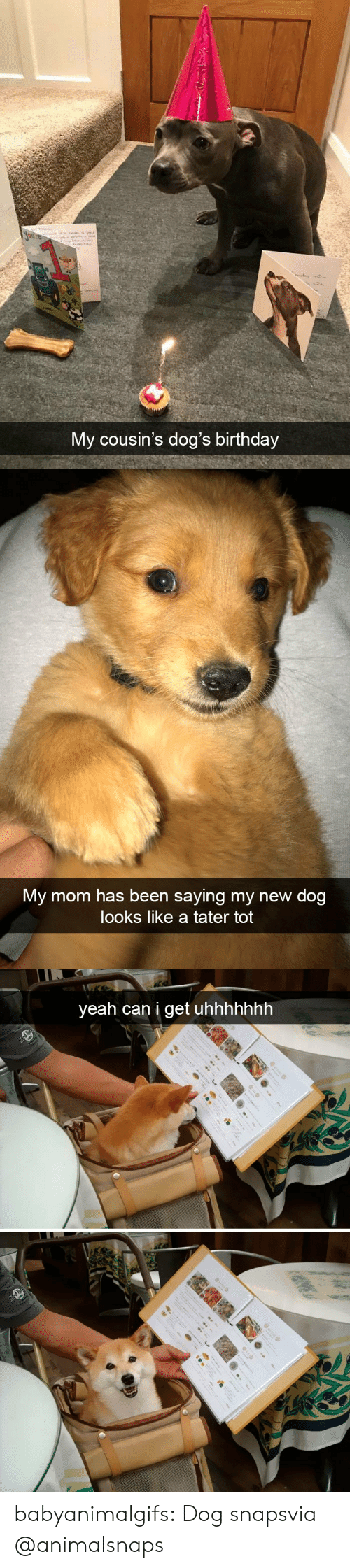 Birthday, Dogs, and Tumblr: My cousin's dog's birthday   My mom has been saying my new dog  looks like a tater tot   yeah can i get uhhhhhhh babyanimalgifs:  Dog snapsvia @animalsnaps