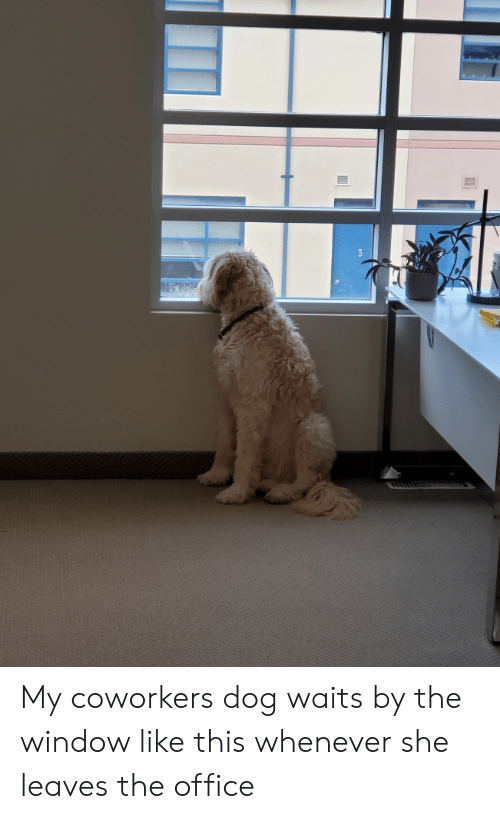 The Office, Office, and Coworkers: My coworkers dog waits by the window like this whenever she leaves the office