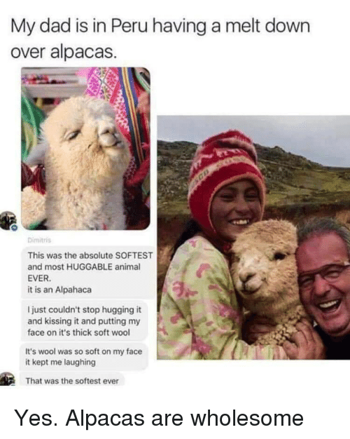 Dad, Peru, and Wholesome: My dad is in Peru having a melt down  over alpacas  Dimitris  This was the absolute SOFTEST  and most HUGGABLE anima  EVER.  it is an Alpahaca  I just couldn't stop hugging it  and kissing it and putting my  face on it's thick soft wool  It's wool was so soft on my face  it kept me laughing  That was the softest ever Yes. Alpacas are wholesome