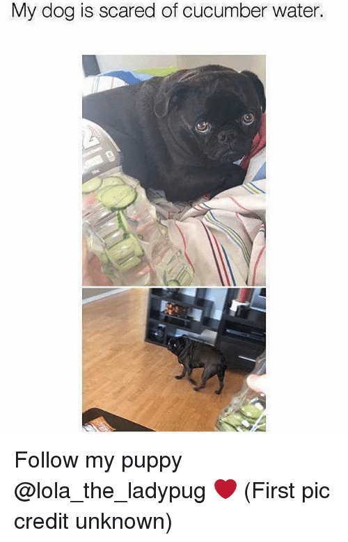 lola: My dog is scared of cucumber water. Follow my puppy @lola_the_ladypug ❤️ (First pic credit unknown)