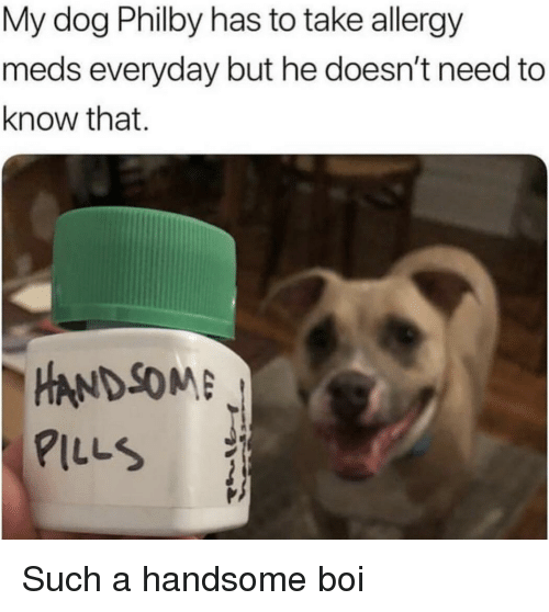 meds: My dog Philby has to take allergy  meds everyday but he doesn't need to  know that.  -HANDSOME  PILLS Such a handsome boi