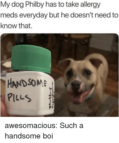 meds: My dog Philby has to take allergy  meds everyday but he doesn't need to  know that.  -HANDSOME  PILLS awesomacious:  Such a handsome boi