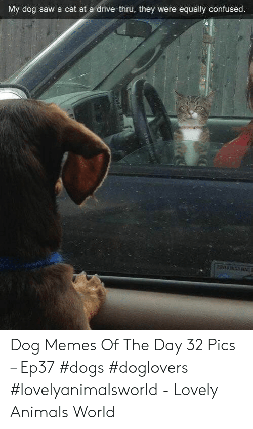Animals, Confused, and Dogs: My dog saw a cat at a drive-thru, they were equally confused Dog Memes Of The Day 32 Pics – Ep37 #dogs #doglovers #lovelyanimalsworld - Lovely Animals World