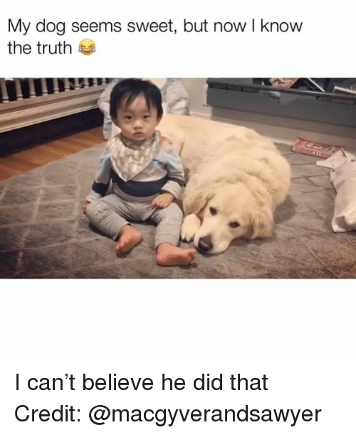 Memes, Truth, and 🤖: My dog seems sweet, but now I know  the truth I can't believe he did that Credit: @macgyverandsawyer
