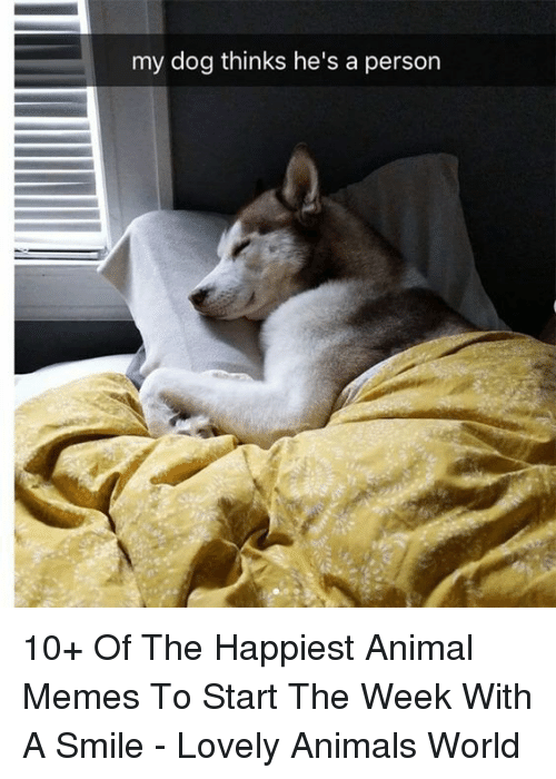 Animals, Memes, and Animal: my dog thinks he's a person 10+ Of The Happiest Animal Memes To Start The Week With A Smile - Lovely Animals World