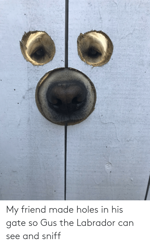 see: My friend made holes in his gate so Gus the Labrador can see and sniff