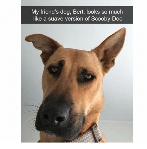 Friends, Memes, and Scooby Doo: My friend's dog, Bert, looks so much  like a suave version of Scooby-Doo