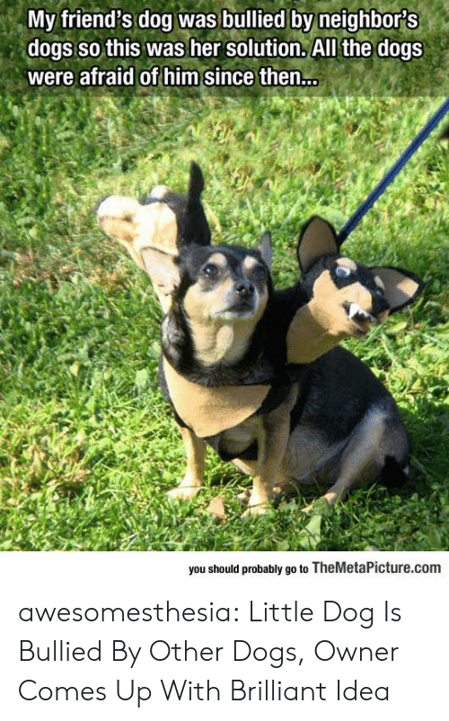 Dogs, Friends, and Tumblr: My friend's dog was bullied by neighbors  dogs so this was her solution. All the dogs  were afraid of him since then...  you should probably go to TheMetaPicture.com awesomesthesia:  Little Dog Is Bullied By Other Dogs, Owner Comes Up With Brilliant Idea