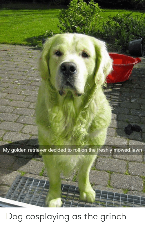 The Grinch: My golden retriever decided to roll on the freshly mowed lawn Dog cosplaying as the grinch