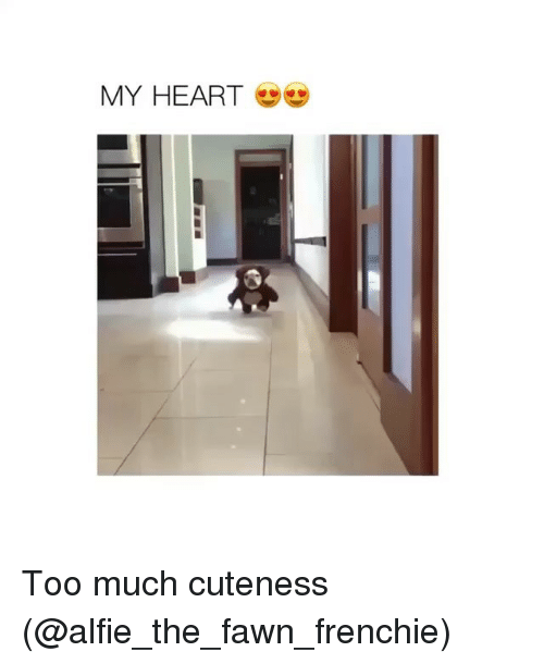 Funny, Too Much, and Heart: MY HEART Too much cuteness (@alfie_the_fawn_frenchie)