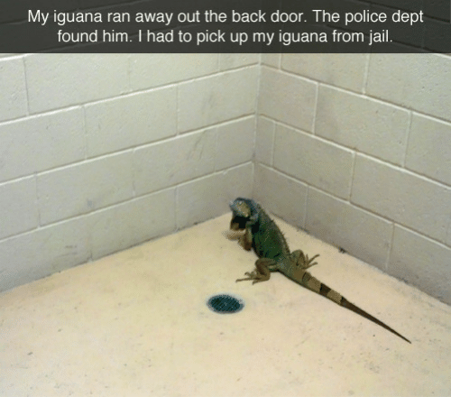 Back Door: My iguana ran away out the back door. The police dept  found him. I had to pick up my iguana from jail.
