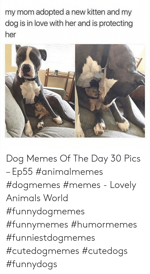 Dog Memes: my mom adopted a new kitten and my  dog is in love with her and is protecting  her Dog Memes Of The Day 30 Pics – Ep55 #animalmemes #dogmemes #memes - Lovely Animals World #funnydogmemes #funnymemes #humormemes #funniestdogmemes #cutedogmemes #cutedogs #funnydogs