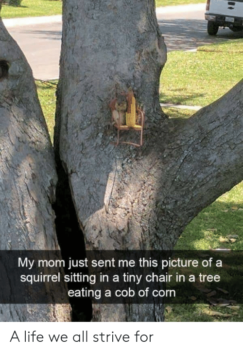 Life, Squirrel, and Tree: My mom just sent me this picture of a  squirrel sitting in a tiny chair in a tree  eating a cob of corn A life we all strive for