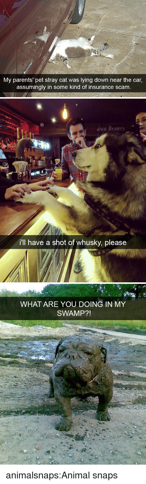 Lying Down: My parents' pet stray cat was lying down near the car,  assumingly in some kind of insurance scam   JACK DANIELs  i'll have a shot of whusky, please   WHAT ARE YOU DOING IN MY  SWAMP?! animalsnaps:Animal snaps