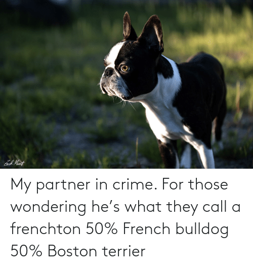 Partner: My partner in crime. For those wondering he's what they call a frenchton 50% French bulldog 50% Boston terrier
