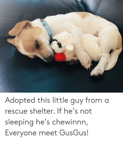 Sleeping, Shelter, and This: N Adopted this little guy from a rescue shelter. If he's not sleeping he's chewinnn, Everyone meet GusGus!
