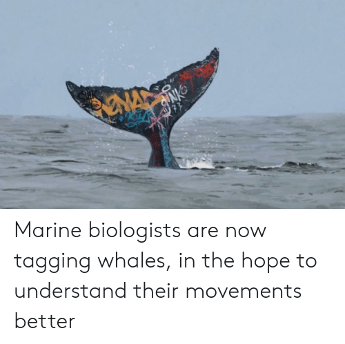 Tagging: NA  77 Marine biologists are now tagging whales, in the hope to understand their movements better