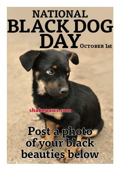 Memes, Black, and 🤖: NATIONAL  BLACK DOG  DAY.  OCTOBER 1st  B1  shakepaWS.Conn  Post a photo  of your black  beauties beloww