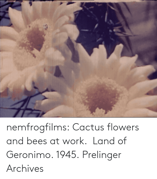 Work: nemfrogfilms: Cactus flowers and bees at work.  Land of Geronimo. 1945. Prelinger Archives