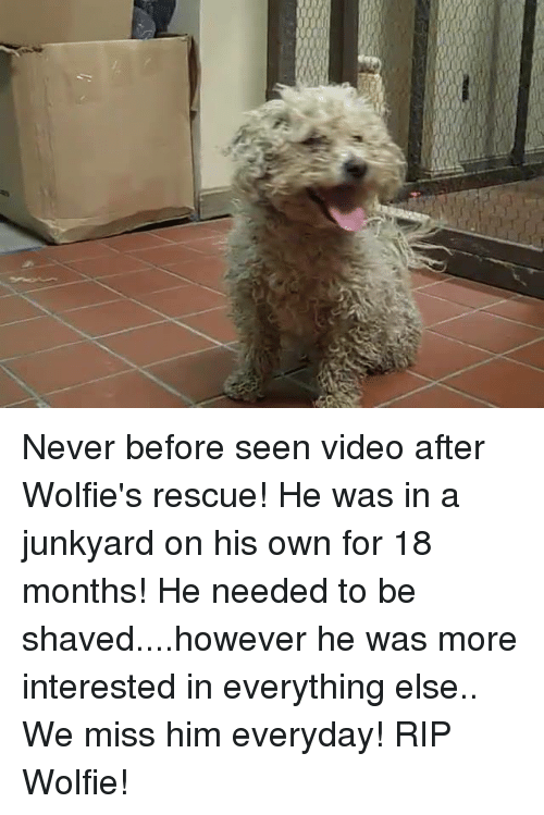 wolfies: Never before seen video after Wolfie's rescue! He was in a junkyard on his own for 18 months!  He needed to be shaved....however he was more interested in everything else..  We miss him everyday! RIP Wolfie!