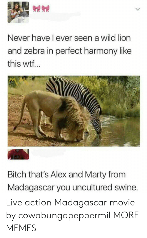 zebra: Never have I ever seen a wild lion  and zebra in perfect harmony like  this wtf..  Bitch that's Alex and Marty from  Madagascar you uncultured swine. Live action Madagascar movie by cowabungapeppermil MORE MEMES